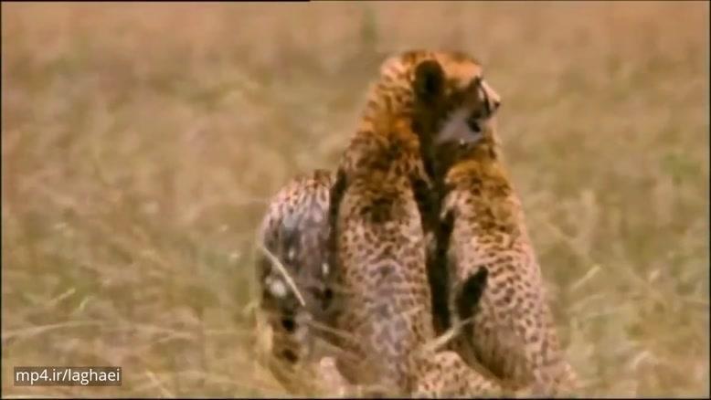 حمله کل مادر به یوزپلنگ برای نجات فرزند