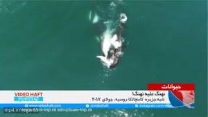 جنگ نهنگها