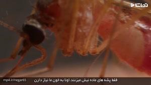 پشه ها چگونه از نیش استفاده میکنن؟