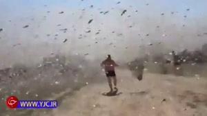 حمله میلیونها ملخ به یک مزرعه