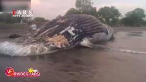 نهنگ ۲۵ تنی در ساحل نیکاراگوئه!