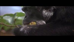 جنگ شامپانزه ها