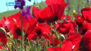 موزیک ویدیو شقایق از مجید اخشابی