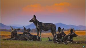 مستند خاندان ها ۴ - گرگهای خالدار