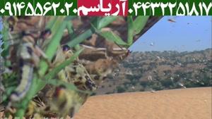 حمله دسته جمعی ملخ ها به مزارع