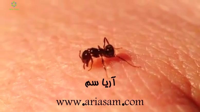 تصاویر حیرت انگیز مورچه های گوشت خوار!!