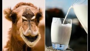 دیابتی ها به جای شیر معمولی، شیر شتر بنوشند!