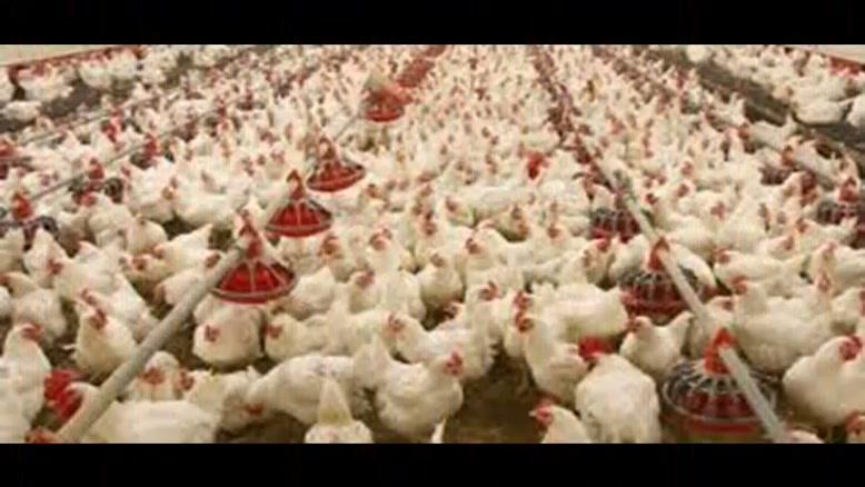 فروش مرغ و جوجه ارزان