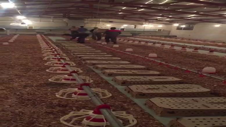 قیمت فروش جوجه یکروزه در مازندران