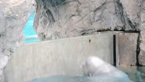 سایت دالفک حرکت عجیب نهنگ سفید بلوگا