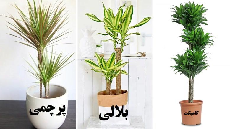 آموزش کاشت گیاه دراسنا
