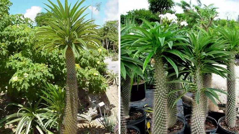 آموزش کاشت و نگهداری از گیاه ماداگاسکار