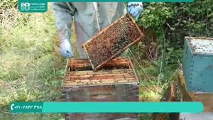 برسی انواع بیماری ها در زنبوران عسل