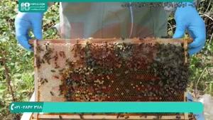 راه های شناخت ملکه جوان زنبور عسل در پرورش زنبور عسل