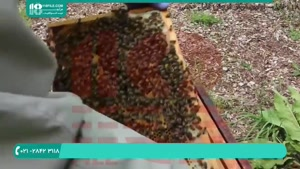 مراحل رشد ملکه زنبور عسل چگونه است