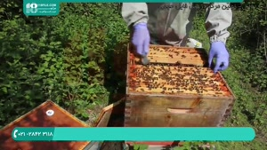 آموزش رایگان زنبورداری و پرورش زنبورعسل بصورت اصولی در سراسر کشور