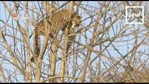 فرار پلنگ به بالای درخت