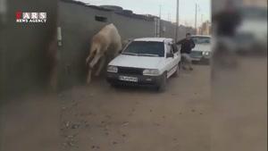 فرار از دست شتر!
