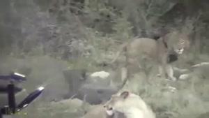 شاخ مرگبار کرگدن در مقابل شیرها