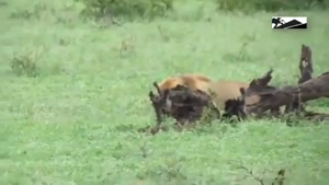 حمله شیر به بوفالو