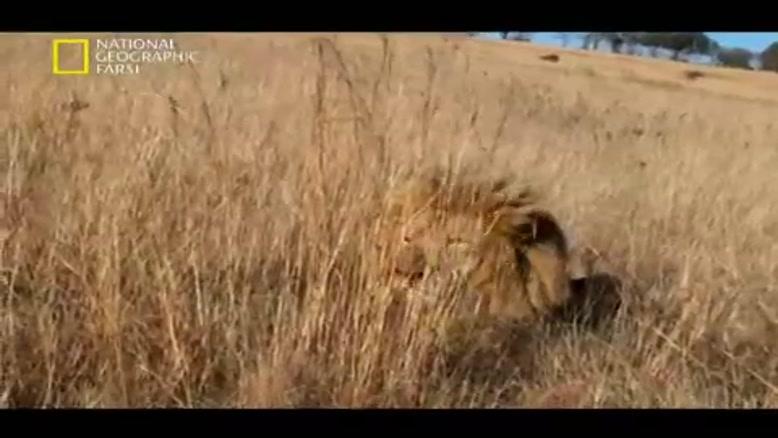 صحنه های فوق العاده از شکار دسته ای از شیرها ی گرسنه به حیوانات