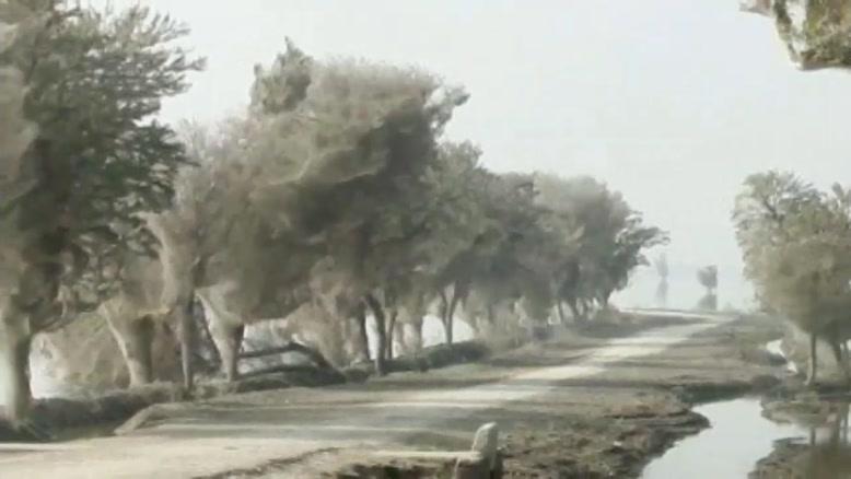 درختان تار عنکبوتی