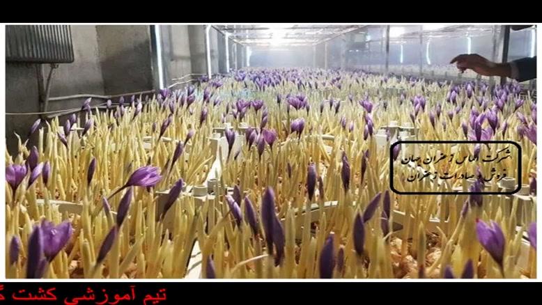 آموزش کشت زعفران گلخانه ای
