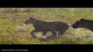 mihanvideo.com -مستند شیرها و بوفالو