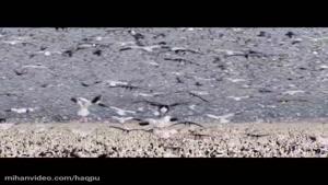 mihanvideo.com -پرواز غازها و عقاب