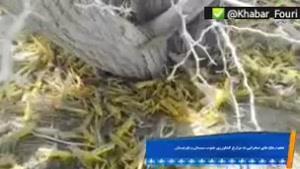 هجوم ملخهای صحرایی به ایران