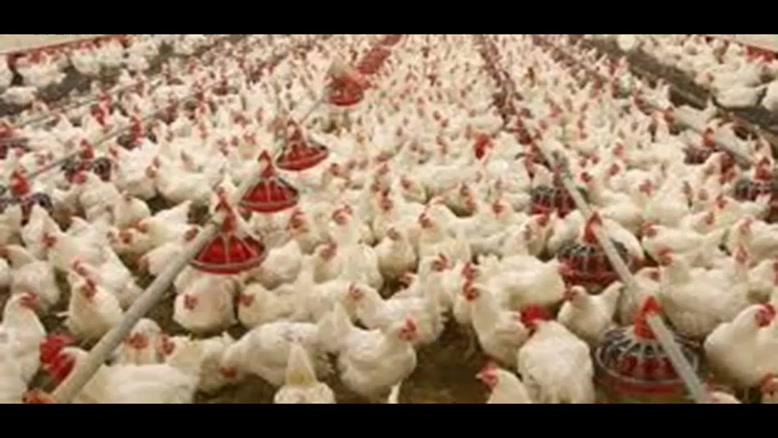حمل جوجه یکروزه تخم گذار قیمت مرغ