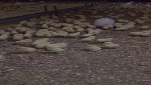 پرورش صنعتی مرغ مادر جوجه کشی