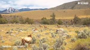 """تماشا - تصاویر جذاب از پارک حفاظت شده یلواستون """" Yellowstone"""