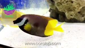 روباه فیجی - فروش آنلاین ماهی های آبشور در کرال اس پی