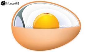 اجزای تشکیل دهنده یک تخم مرغ نطفه دار