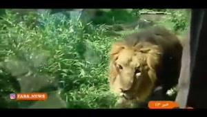 شیر ایرانی پس از ۸۰سال به ایران بازگشت