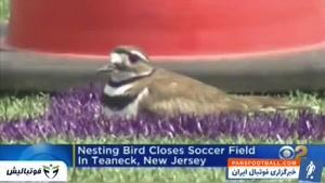 تعطیلی زمین تمرین فوتبال به دلیل تخم گذاری یک پرنده