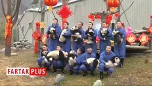 نماشا - نمایش پانداهای بامزه در چین