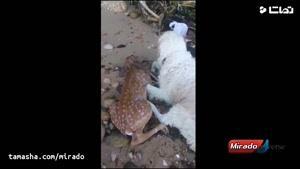 تماشا - وقتی حیوانها هوای همدیگر را دارند
