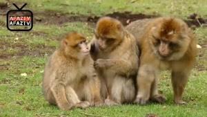 آیا میدانستید _ آیا ما انسانها از نسل میمون ها هستیم ؟