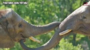 آیا میدانستید _ ۱۸ حقیقت باورنکردنی درباره فیل ها