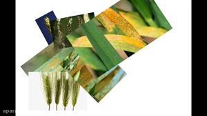قارچ کش صددرصد تضمینی دانه های روغنی | فولیکور | Folicur
