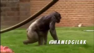 صدا گذاری : خانواده پر هیاهوی میمون ها