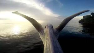 کلیپی فوق العاده زیبا از پرواز پلیکان