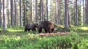 نماشا - صحنه هیجان انگیز دعوای دو خرس