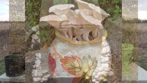 پرورش قارچ در ظروف پلاستیکی