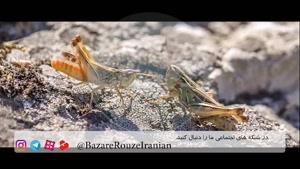 Flour Fight With Grasshopper/مبارزه ملخ و آرد در رینگ طبیعت