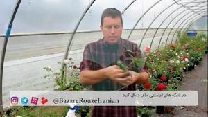 آموزش جاودان سازی و تکثیر شاخه های گل رز...