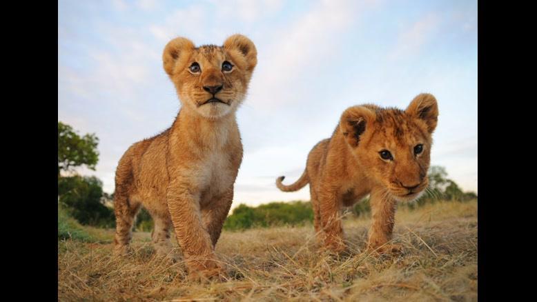 زندگی با توله شیرها چگونه است؟
