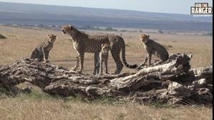 خانواده چیتاها در غروب آفتاب